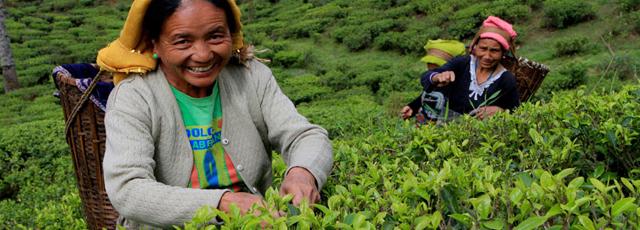 Manufacturing Tea
